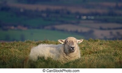 Sheep On Windy Hilltop