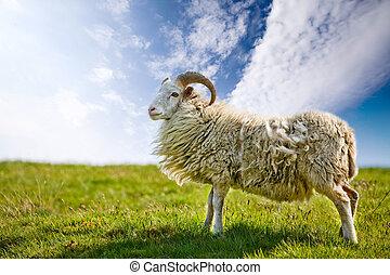 sheep, orgulloso