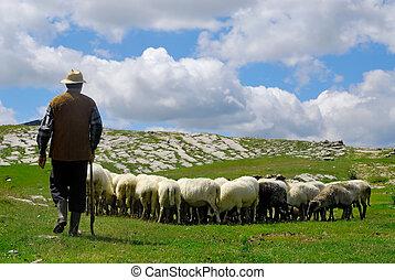 sheep, pásztor, övé, legelő
