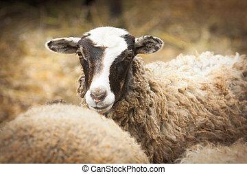 sheep, på, a, lantgård, in, dimma
