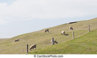 sheep, pastar, em, a, prado