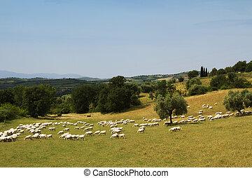 sheep, pastwiskowy