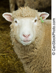 Sheep Portrait - a portrait of a sheep, within a a lambing...