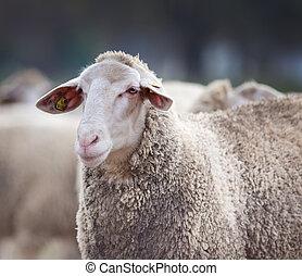 Sheep portrait on farmland