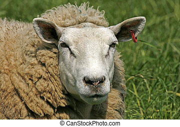 Sheep, Portrait