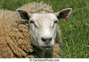 Sheep, Portrait
