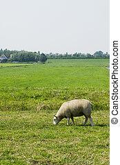 sheep, praderas