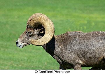 sheep, ram, 砂漠, bighorn