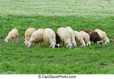 sheep., rebanho
