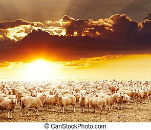 sheep, rebanho