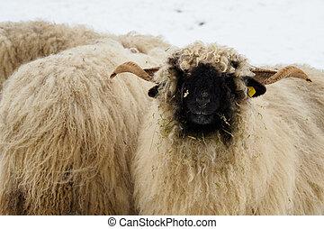 sheep, rebanho, inverno, farm.