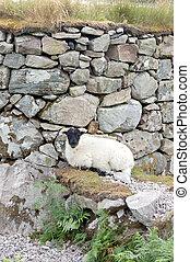 Sheep resting at a wall