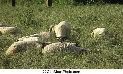Sheep resting on green grass in spring. Sheep lying on the meadow and resting