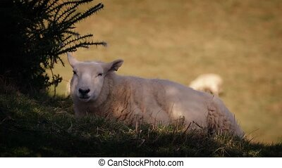 Sheep Rests In Shade On Hot Day - Sheep chews grass under a...