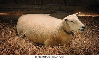 Sheep Rests On Bed Of Straw In Barn - Sheep resting on bed...