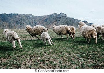 Sheep running on the green grass