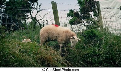 Sheep Scramble Under Fence - Lots of sheep scrambling under...