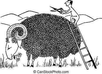 Sheep shearing - Man shearing big sheep on mountain...