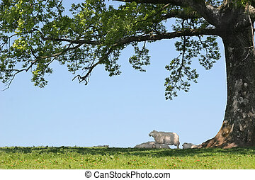 Spring lambs and sheep sheltering in the shade under the branches of an oak tree with a blue sky to the rear.