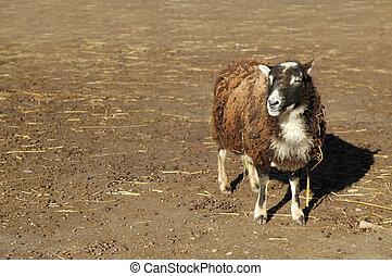 sheep, -, singolare