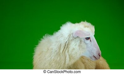sheep stand on the green screen