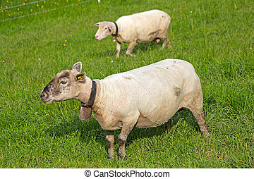 sheep standing in a field waiting