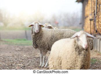 Sheep standing on farmland