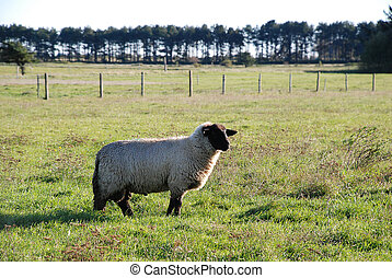 Sheep, standing on grass, island Amrum, Germany