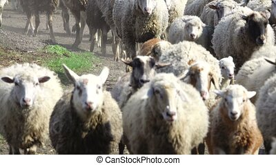 sheep to run in home
