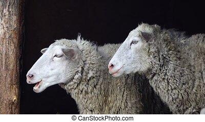 sheep portrait on a black background
