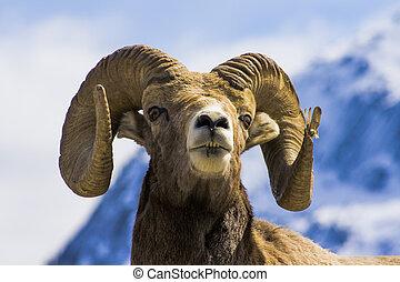 sheep, stort horn, headshot, portræt