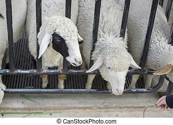 sheep, su, farm., fuoco., selettivo, chiudere, sheeps, faccia