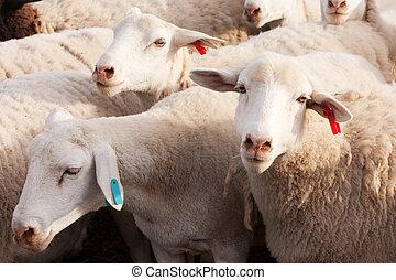 sheep, tarde, tagged, tarde, dormer