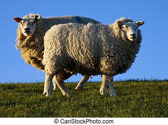 sheep, texel, ολλανδία , eveninglight