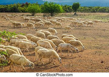 sheep, tierra, comida, manada, secado, pasto o césped