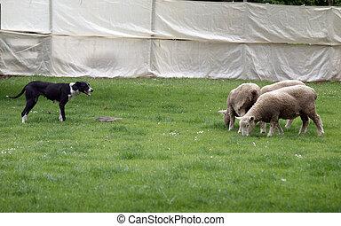 sheep, trabalho, cão