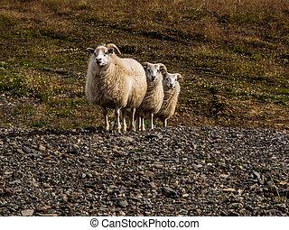 sheep, triple