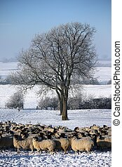 sheep under a tree in winter snow