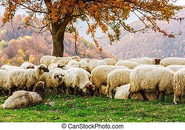 Sheep under the tree in Transylvania