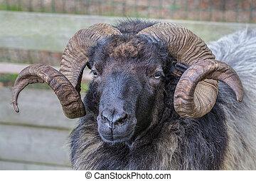 sheep, uzavřít, hlavička, up, růžky