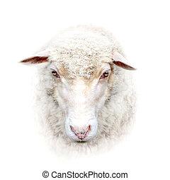 sheep, vända mot på, vit