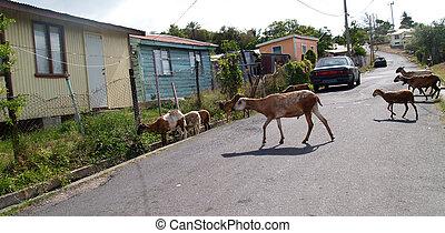 sheep, vagando, vizinhança, antigua