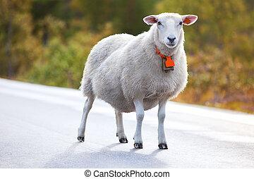 sheep, vandrande, väg