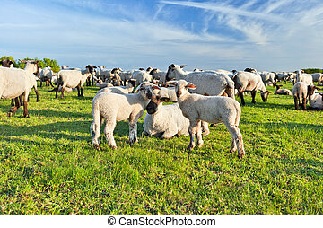 sheep, verano, paisaje, manada