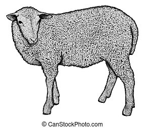 Very detailed hand drawn sheep