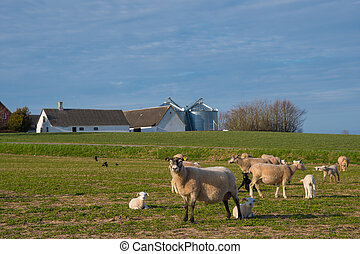 Sheep walking on a field with her lam in countryside Denmark