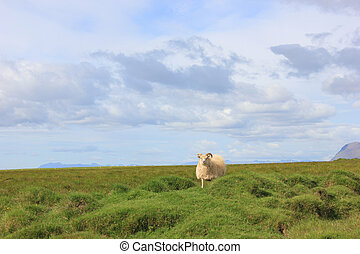 Sheep walking on a meadow looking at you with mountains in the background