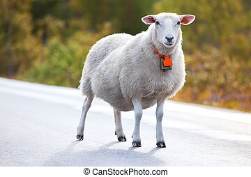 Sheep walking on road in Norway