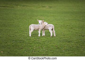 sheep, wiosna, jagnięta, niemowlę, pole