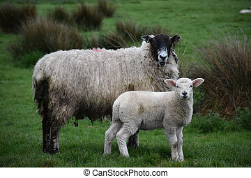 Sheep with a Young Lamb Standing Together in a Pasture